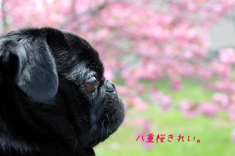 桜見て・・・