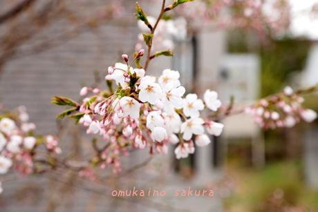 お向かいの桜