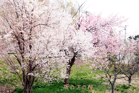 坂の下の桜