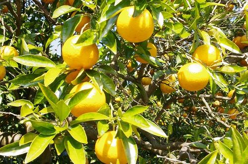 s-ナルトオレンジ1