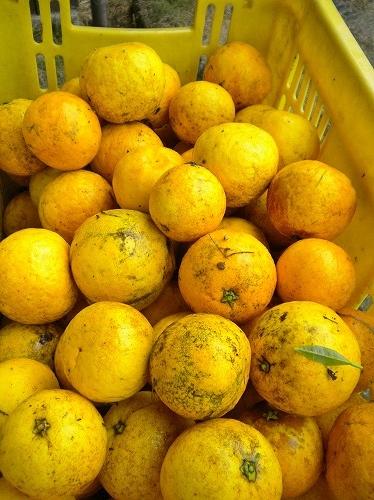s-鳴門オレンジ2
