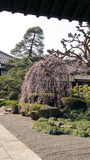 お寺の枝垂れ梅