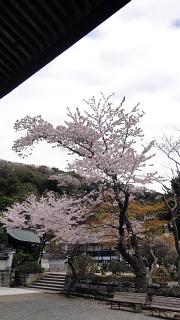 円覚寺桜2