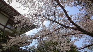 円覚寺桜3