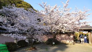 旧安田邸桜