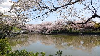 鶴岡八幡桜