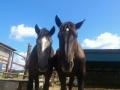 アズキとコムギ 牧場にて 写真は生産牧場より提供