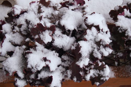 ヒューケラと雪