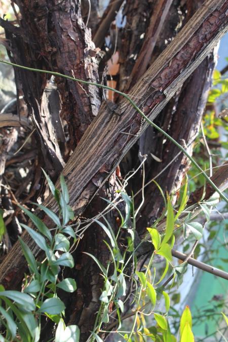 モッコウバラ 樹皮