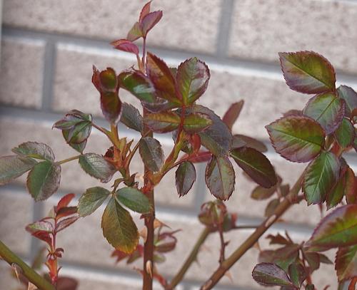 新芽 照り葉