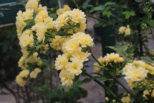 黄色モッコウバラ八重