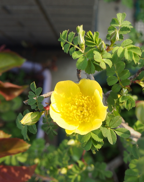 カナリー 初咲き