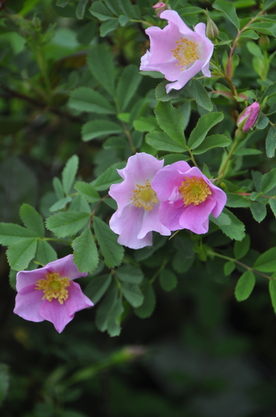 2014 4 28 Rosa Suffulta
