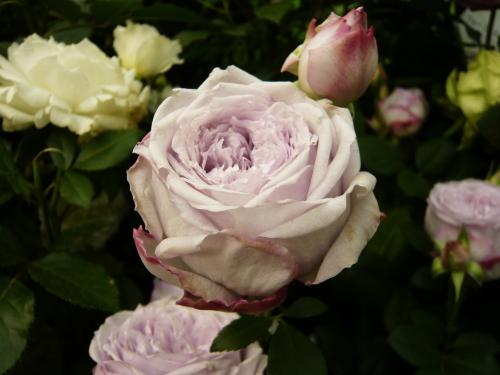 ブログ 国バラ ラピスラズリ