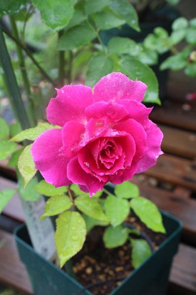 シェエラザードの花