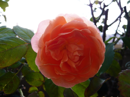 ブログ レディエマハミルトン2番花