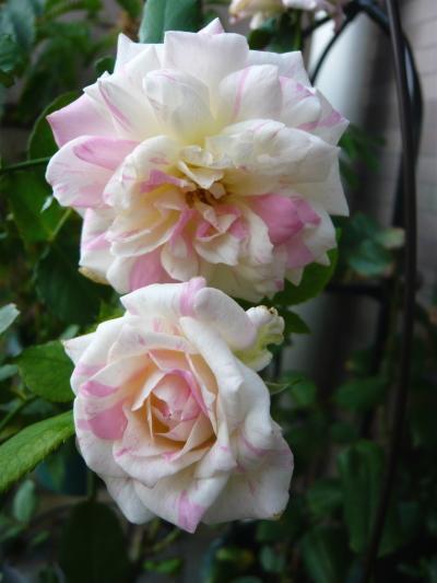 ブログ ミルフィーユ2番花