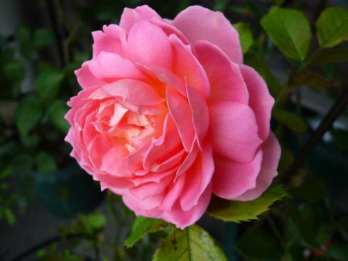 ブログ ジュビリー 2番花