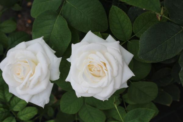 白のエレーヌジュグラリス