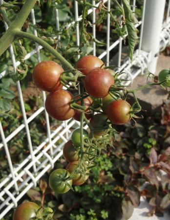 トマト近況
