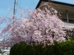 枝垂桜2014
