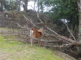 白岩小屋の鹿