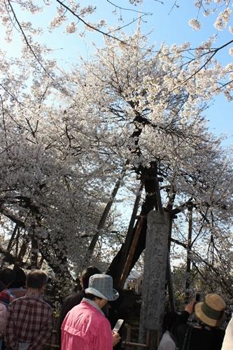 IMG_1287蒲桜