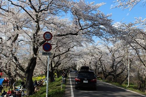 IMG_1296桜