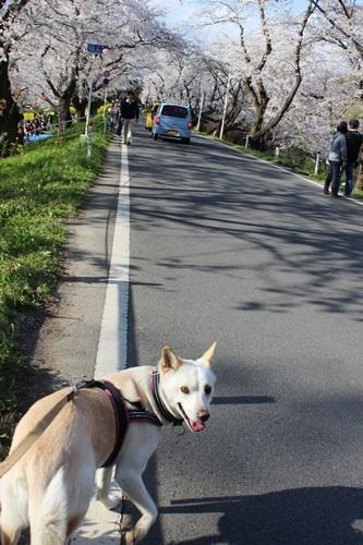 IMG_1295桜