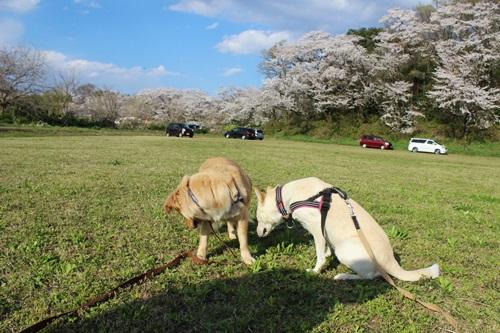 IMG_1309桜