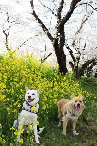 IMG_1317桜