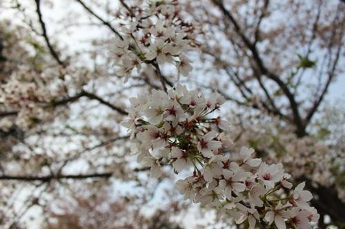 IMG_1509桜