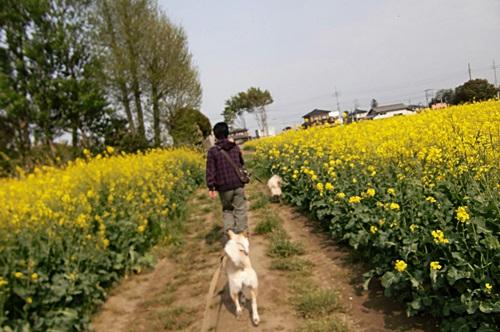 012菜の花