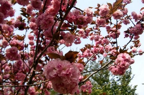 032八重桜