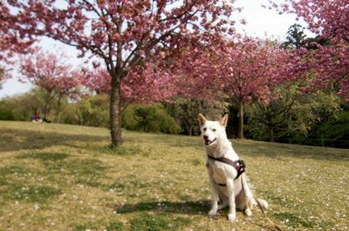019八重桜