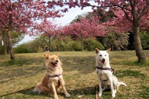 029八重桜