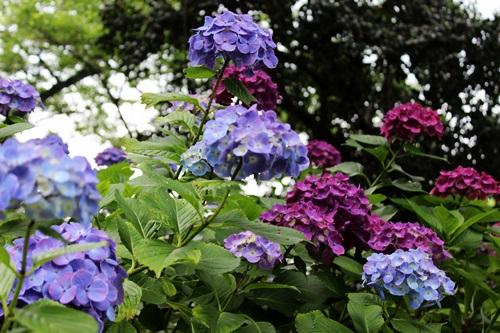 IMG_2941雨引紫陽花