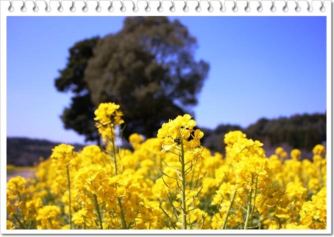 菜の花1-3