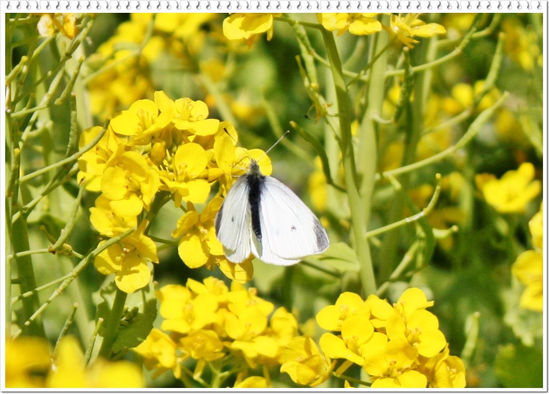 菜の花1-6