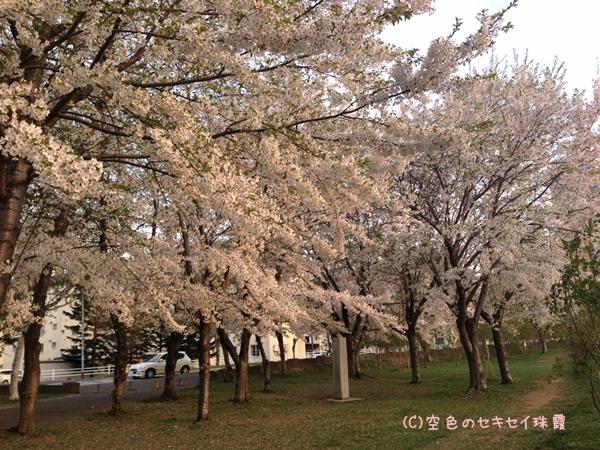 農試公園の桜2014.5.7