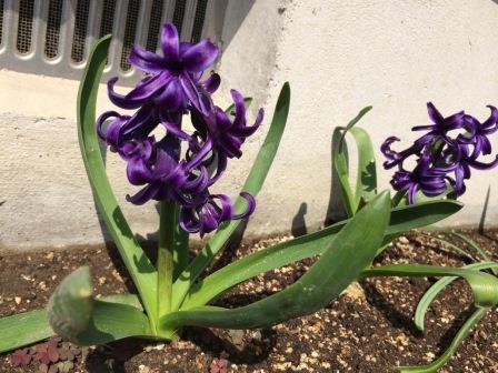 ヒヤシンス紫