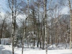 雪の白樺林