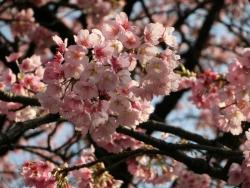 桜 2014.3.28