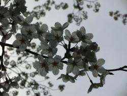 桜 2014.4.2