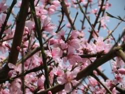 桃の花 2014.4.2