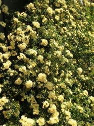 Rosa banksiae f. lutea Rehder(ロサ・バンクシア・ルテア)