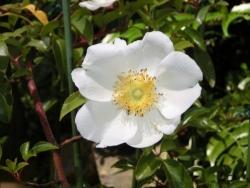 ナニワイバラ Rosa laevigata