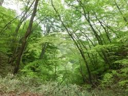 霧降の滝遊歩道の新緑
