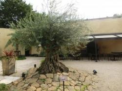 小笠原伯爵邸 樹齢500年 オリーブ