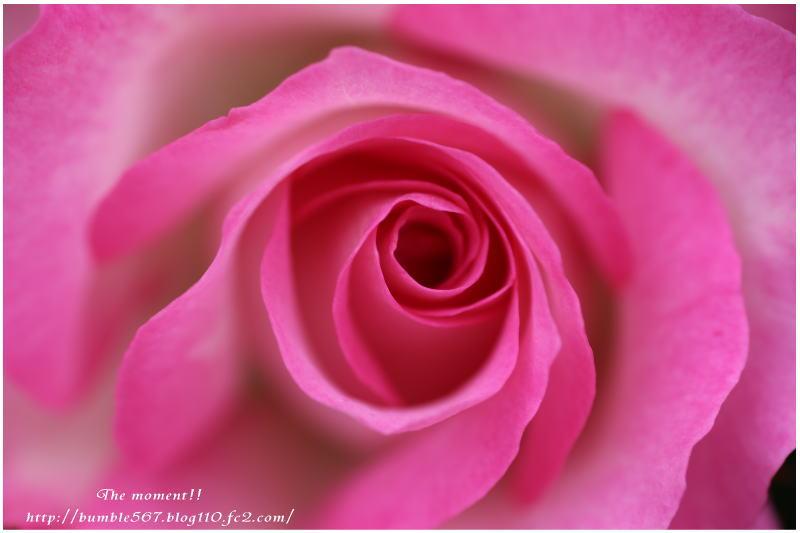 2014薔薇